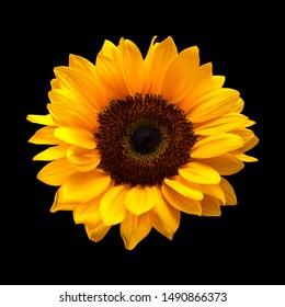 single sunflower isolated on black background