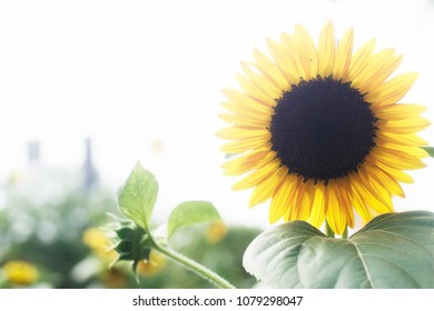A single sunflower on a sunny summer day. With other sunflowers and green foliage in the background.