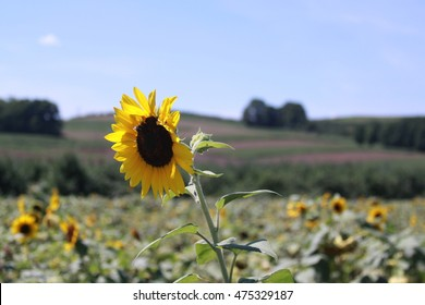 Single Sunflower side view with barn in the distance