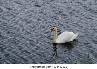 A single swan floats on the surface of the lake
