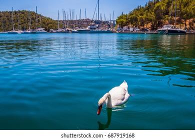 Single swan  in the harbor of Skradin, Croatia