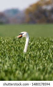 A single swan popping its head and neck out of a green crop field. Located in the Suffolk countryside