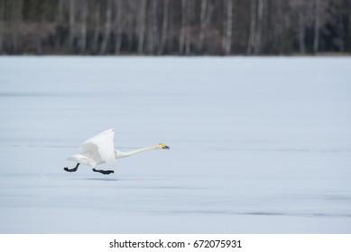 Single swan running on ice