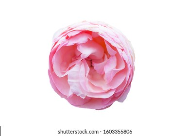 Single sweet pink english rose shape circle and some peatals fall down, on isolated white background and clipping path. symbol of love for valentine's day .
