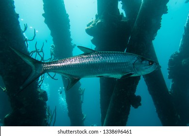 A single tarpon swimming below the pillars of the Salt Pier on the tropical island Bonaire in the Caribbean