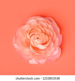 Single tender coral ranunculus with many delicate petals in front of living coral color background. Living coral color of the year 2019.