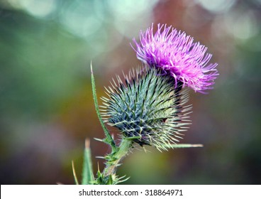 Single Thistle Flower in Bloom in the field.