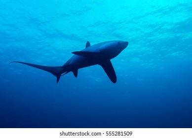 Single thresher shark swimming under water surface above cleaning station. Monad Shoal, Malapascua, Philippines.
