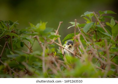 Single tiny fledgling blue tit with scruffy plumage peeking out from amid spring growth