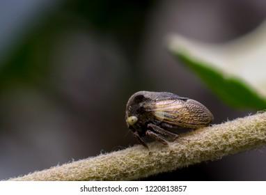 single tiny horn tree hopper