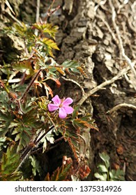 Single tiny purple flower of geranium robertianum, commonly known as herb-Robert with green leaves foliage growing from the feet of a cedar tree and climbing its textured trunk