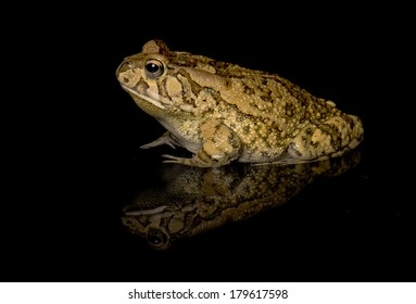 single toad on black with reflection