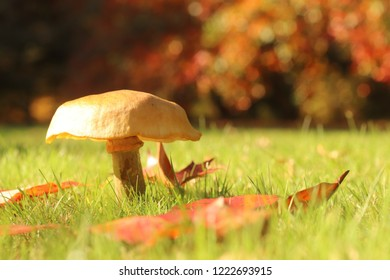 Single toadstool, off centre left, growing out of the grass with brown autumnal leaves all around and soft focus autumnal coloured bushes behind