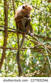 Single toque macaque monkey eating on a bamboo branch, Peradeniya, Sri Lanka