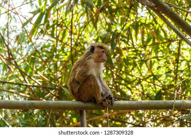 Single toque macaque monkey sitting on a bamboo branch, Peradeniya, Sri Lanka