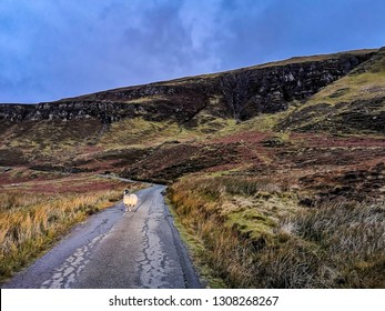 Single track road with lone sheep on the Isle of Raasay, Scotland.