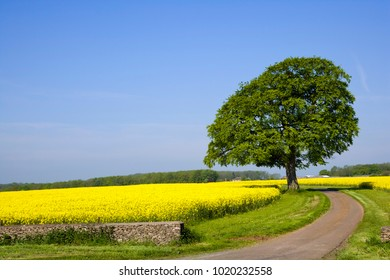 A single track rural country lane passes through fields of vibrant yellow oil seed rape