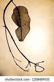 A single translucent dead leaf against a cream coloured background