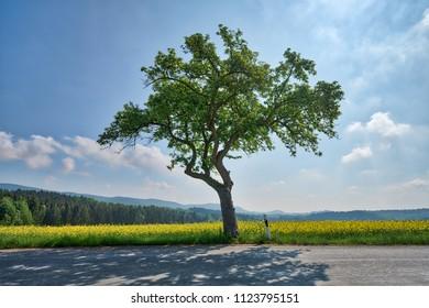 single tree beside the road with rape field