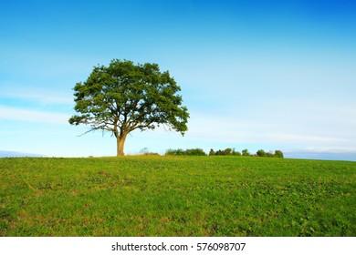 Single tree and blue sky .