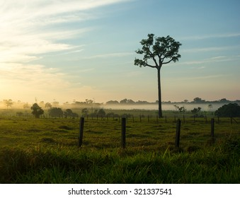 Single tree of Brazil nuts in the middle of a pasture in Brazilian Amazon Forest with the Sunrise