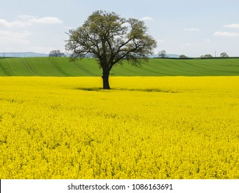 A single tree in a bright yellow oilseed rape meadow in the springtime in England