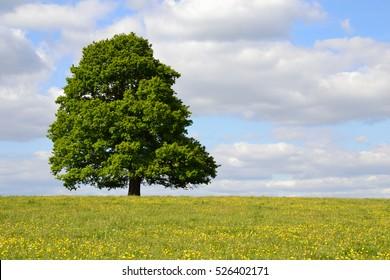Single tree in full leaf under a cloudy blue sky standing in a field of buttercups