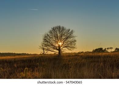 single tree heathland at sunset