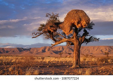 Single tree in the Namibian desert growing in a harsh environment with a big bird's nest.