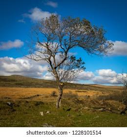 Single Tree On Dartmoor