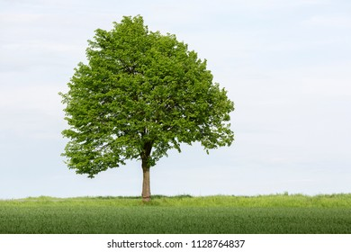 Single tree on farmland in springtime, Germany