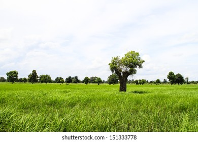 Single tree on rice green field