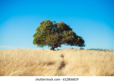 A single tree on top of a hill in California's Briones Regional Park.