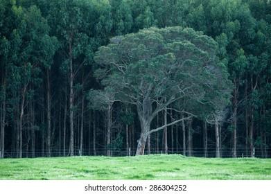Single tree (redgum, Corymbia colophylla) growing on edge of grassy paddock against a dark green backdrop of a dense plantation of Tasmanian bluegum (Eucalyptus globulus)