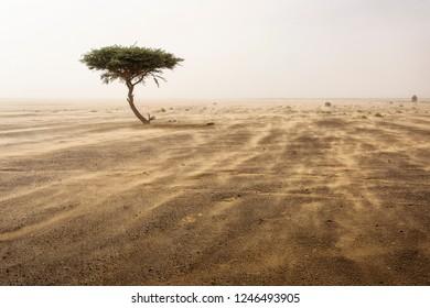 Single tree in a sands storm in desert Sahara, Morocco
