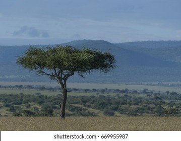 Single tree standing high in savanna, with mountains in back ground. Masai Mara, Kenya