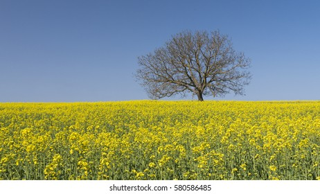 Single tree standing in the middle of a field of flowering rapseed in early spring.