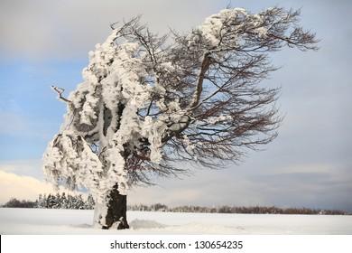 Single tree in winter landscape, Romania