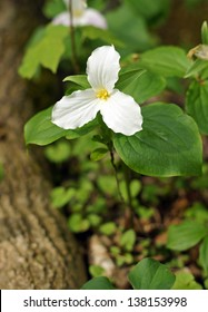A single trillium grows at the base of the tree.  Trilliums are protected as the provincial flower of Ontario Canada
