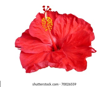 Single Tropical Red Hibiscus Flower Isolated on White