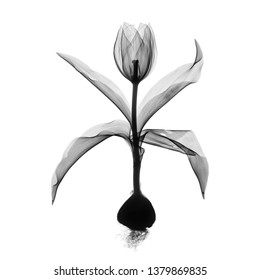 Single tulip flower with bulb X-ray - monochrome on white.