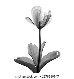 Single tulip flower X-ray - monochrome on white.