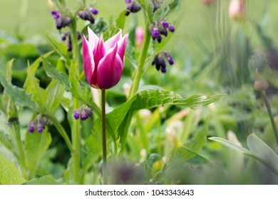 A single tulip in a natural wild garden amongst other plants and flowers.