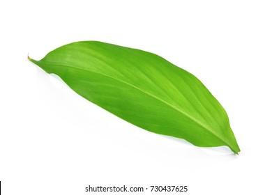 single turmeric leaf isolated on white background