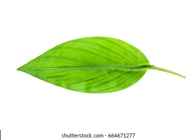 turmeric plant images stock photos vectors shutterstock rh shutterstock com diagram of turmeric plant diagram of turmeric tuber