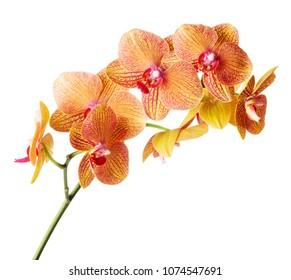 single twig of orchid isolated on white background