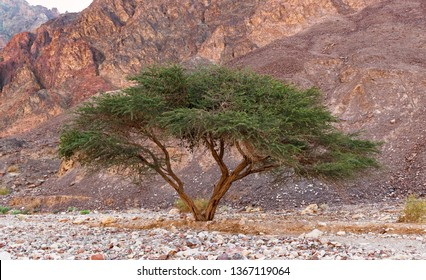 a single umbrella thorn acacia in the eilat mountains of israel with a red rocky mountain slope in the background