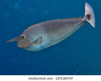 Single unicornfish in deep water. Maldives.