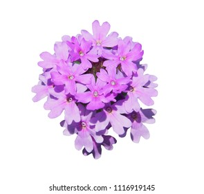 Single Verbena flower - vervain isolated on white background.