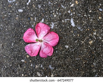 Single vinca flower with rain drops on a concrete background